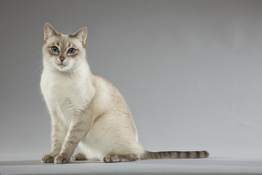 Home International Thai Cats